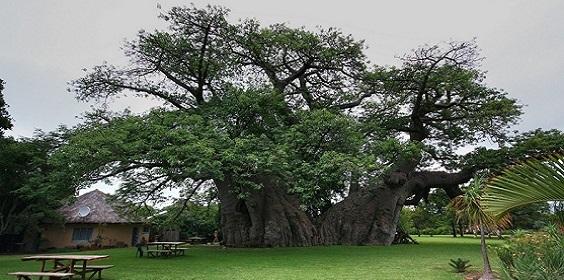 sunland-baobab-01