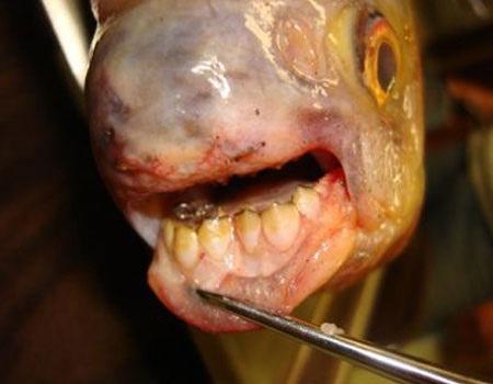 pesce con denti umani