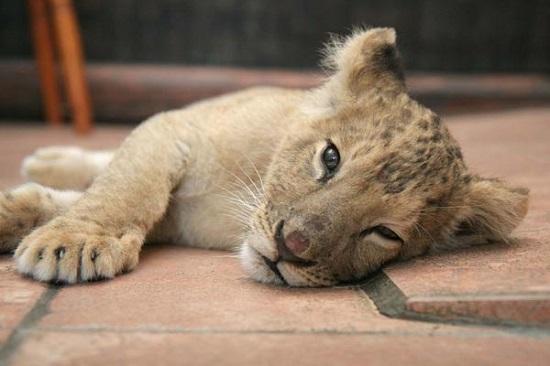 cucciolo tigre