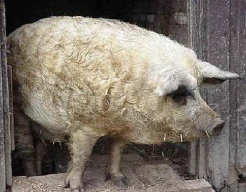 pecora maiale