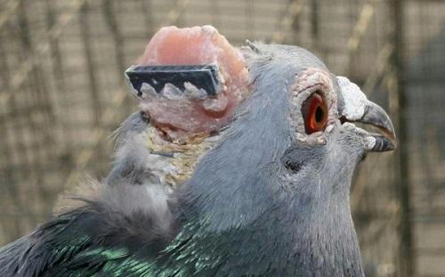 piccioni impianti craniali