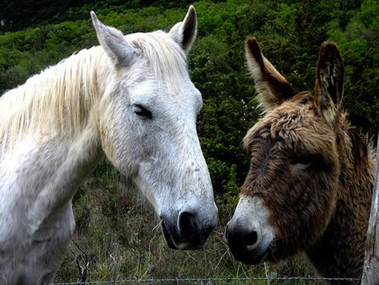 cavallo-asino