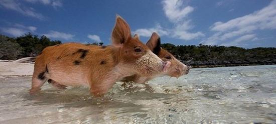 isola abitata da maialini