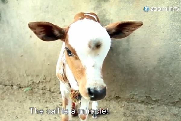 india vitello con tre occhi