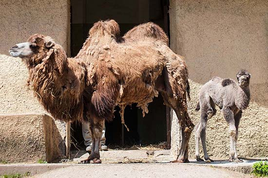 Rome Bioparco Unveils Newly Born Camel