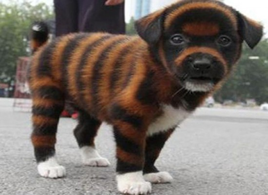 Arrivano i cani tigrati dalla Cina
