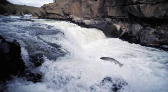 fiume salmoni