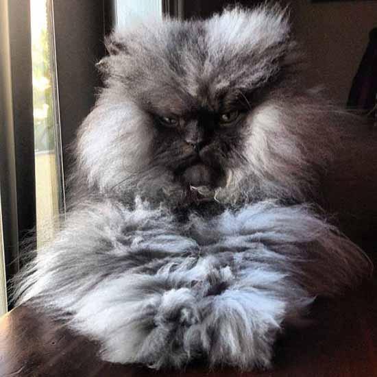 gatto dal pelo lungo