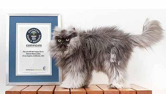 guinness world record lunghezza pelo gatto