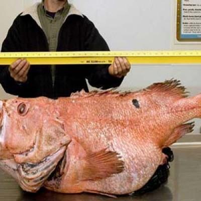 In Alaska pescato un pesce record di 200 anni, il più longevo al mondo