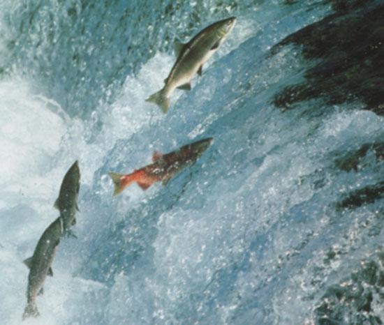 salmoni controcorrente
