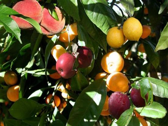 albero 40 frutti