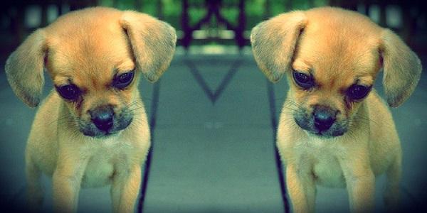 primo cane clonato