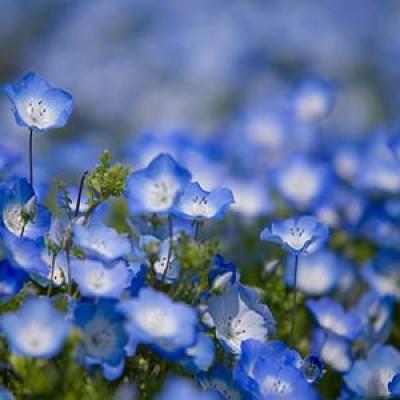 Il Parco di Hitachi in Giappone e i suoi 4,5 milioni di fiori blu intenso
