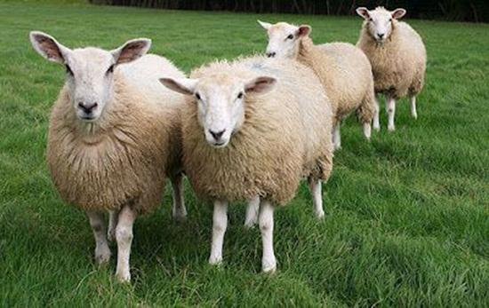 produzione record lana