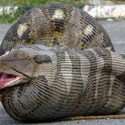 Da Discovery Channel l'ultima follia televisiva: un reality show dove un uomo si fa mangiare da un'anaconda