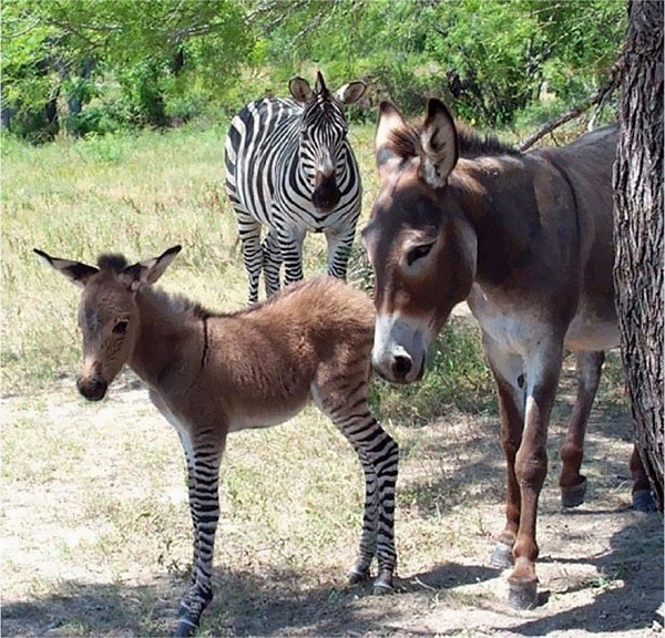adorabile incrocio zonkey