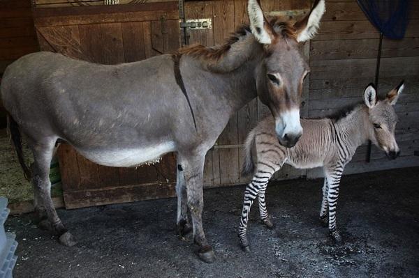 asino zebra ibridi