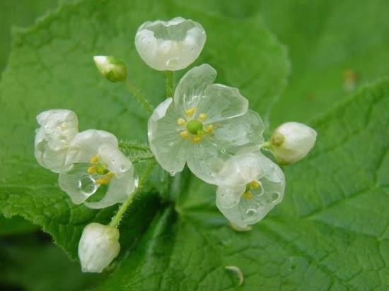 fiori trasparenti magici