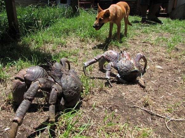 granchio gigante attacca