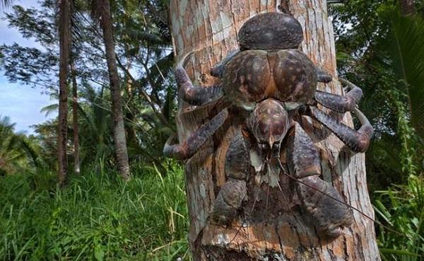 granchio gigantesco cocco