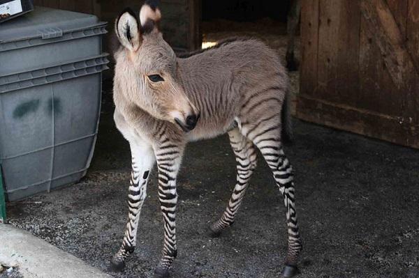 incrocio ibrido asino e zebra