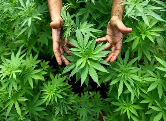 uso cannabis in medicina
