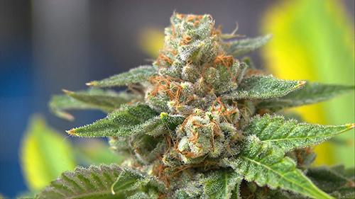 cervello marijuana