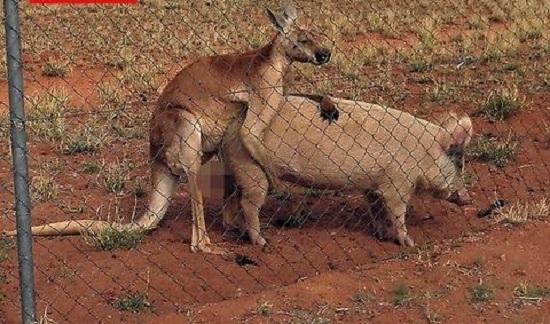 maiala canguro sesso