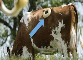 Incredibile: fori praticati sul dorso delle mucche per via della fistulizzazione
