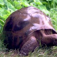 La tartaruga Gay Jonathan è la più vecchia creatura vivente sulla terra