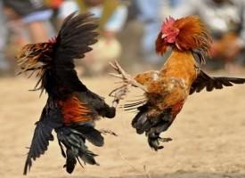 Usa, uomo ucciso da gallo durante combattimento pennuti