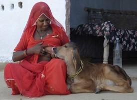Donna indiana allatta vitellino al proprio seno