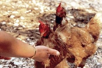 sesso con gallina