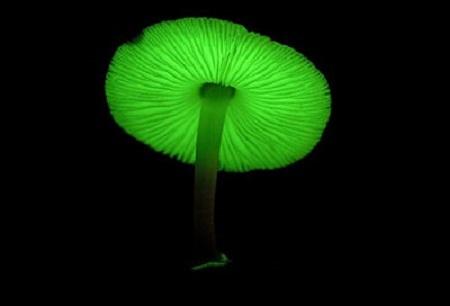 funghi fluorescenti
