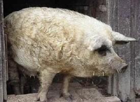 Mangalica: il maiale che somiglia ad una pecora