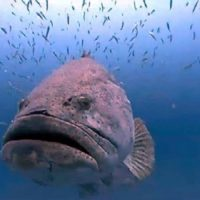 Cernia golia gigante appare dal fondo del mare ed inghiotte uno squalo intero in un boccone