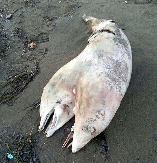 delfino con due teste turchia