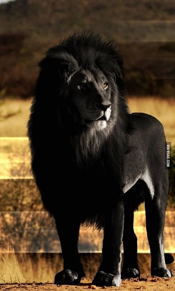 leone nero raro