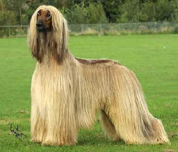 cane levriero afgano
