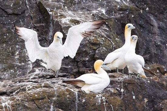 uccelli sule Grassholm