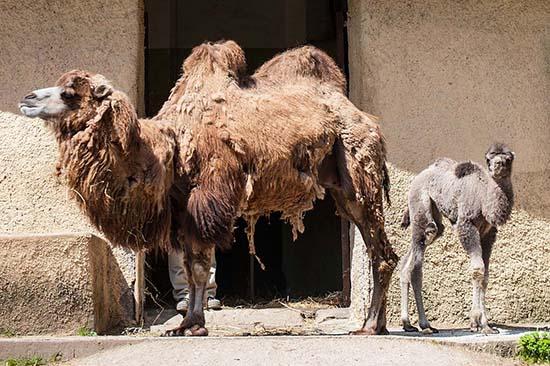 Rome Bioparco Unveils Newly Born Camel