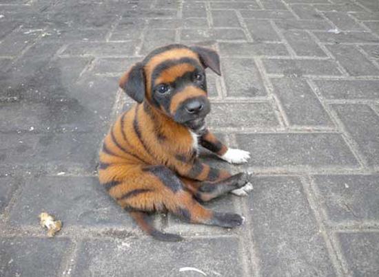 cane colore tigre