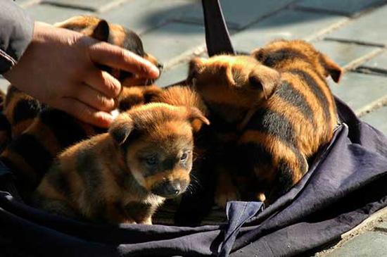 cuccioli di cane trigrato cina
