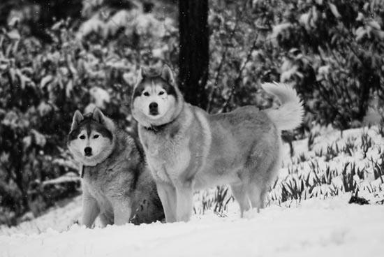 husky cane degli eschimesi