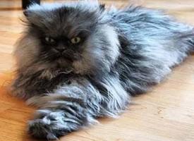 Colonel Meow il gatto con il pelo più lungo del mondo
