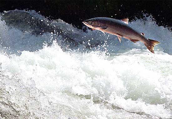 salmone verso opposto fiume