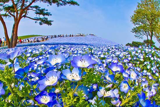 giappone fiori nemophila parco di Hitachi