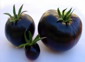 Gli Indigo Rose una nuova varietà di pomodori neri