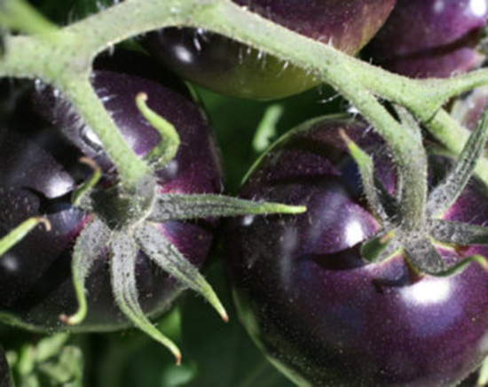 nuova varietà pomodo nero indigo rose